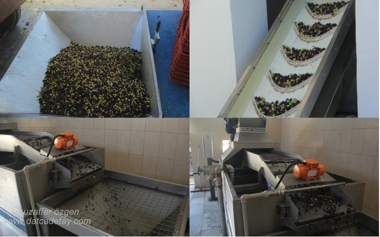 Yazi köyü kooperatifi yağhanesinde işlenen zeytinler