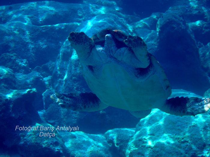 Datça sualtı fotoğrafları denizlerimizi sualtı zenginliklerimizi