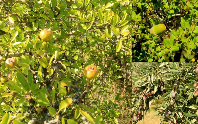 Ahlat ağacı meyvası