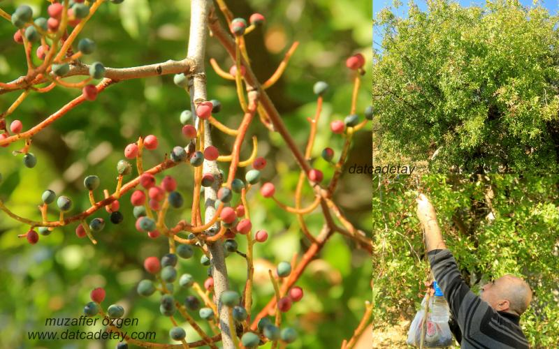 Çitlembik ağacı meyvası