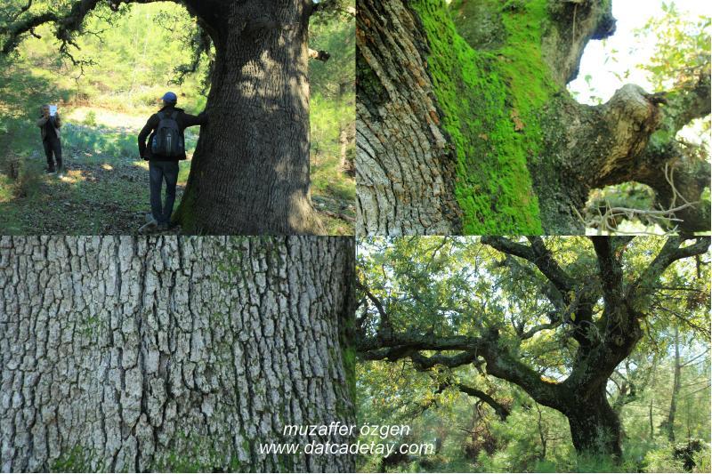 en geniş palamut ağacı