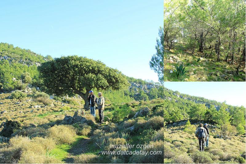 yaşlı kermes meşesi ağacı
