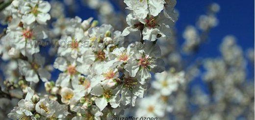 badem çiçekleri
