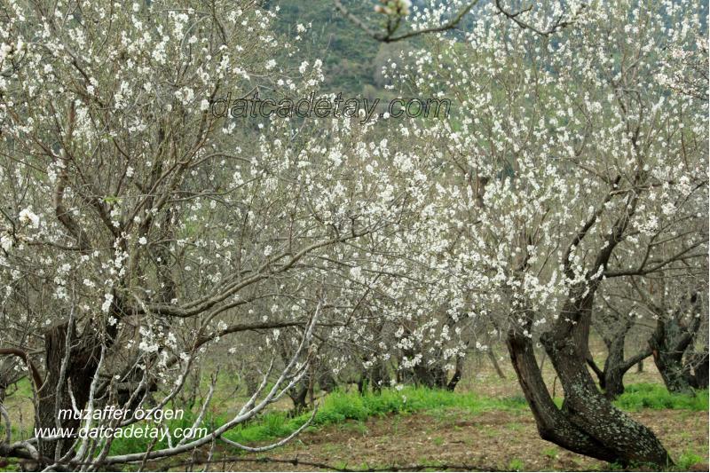 datça'da badem çiçekleri