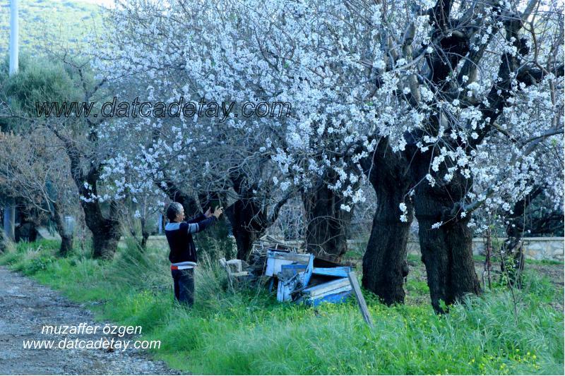 datça'da badem çiçeği fotoğrafı çekmek