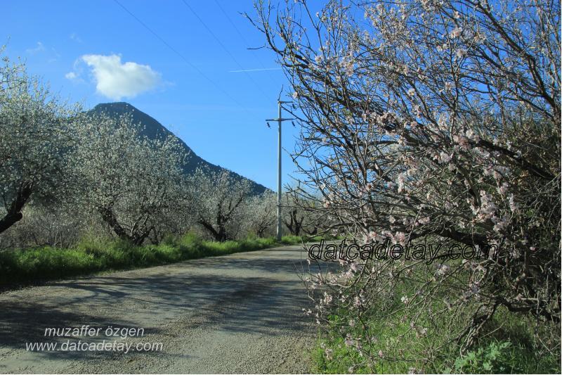 pembe çiçekli badem ağacı