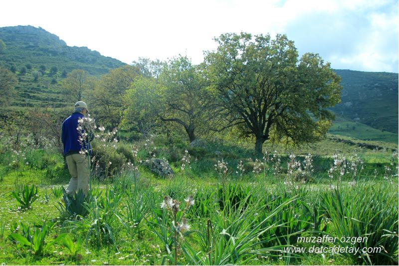 eski datça palamut ağaçları