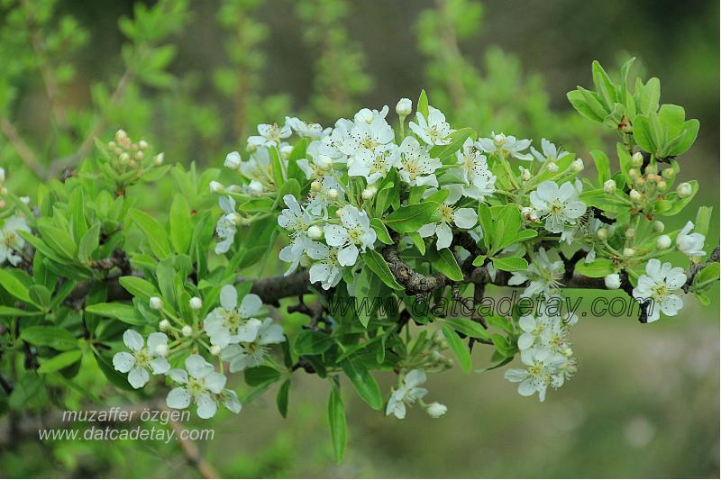 kel armut çiçeği