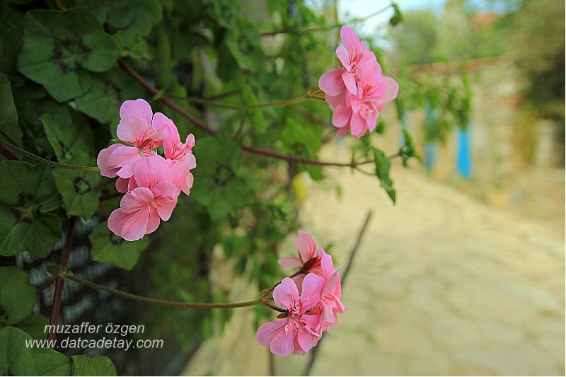 eski datça çiçekler