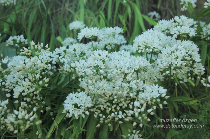 osuruk çiçeği