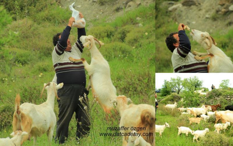 çoban ve keçiler