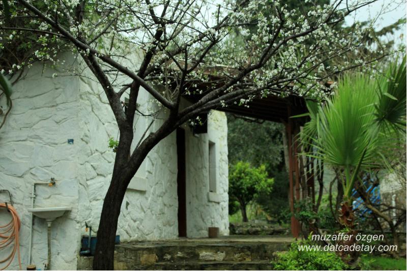 eski datça'da badem ağacı