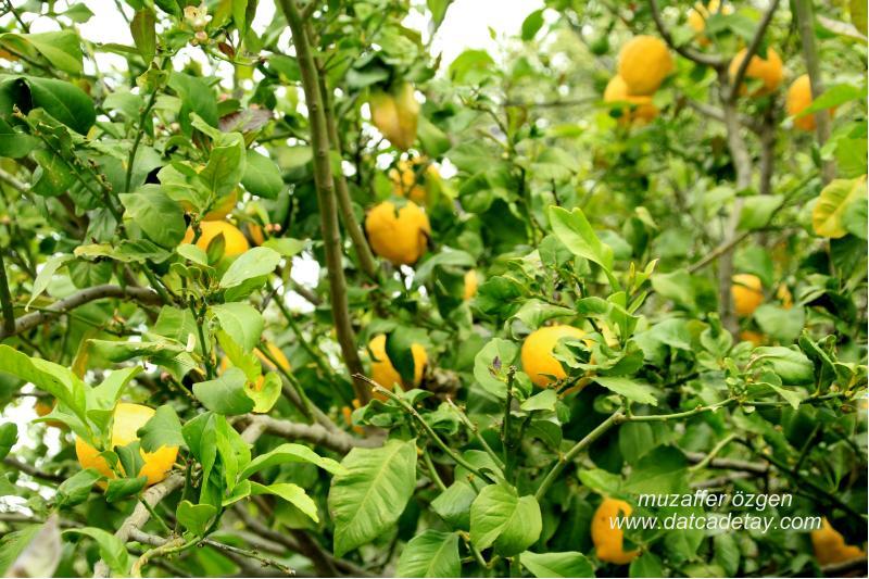 yazı köyde limonlar