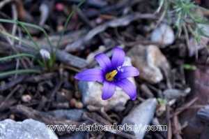 datça doğası çiçekleri