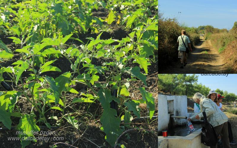 emecik sebze tarımı