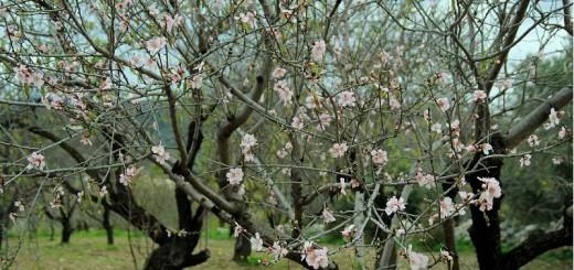 palamutbükü'nde çiçek açmış badem ağacı