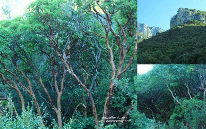 sandal ağaçları