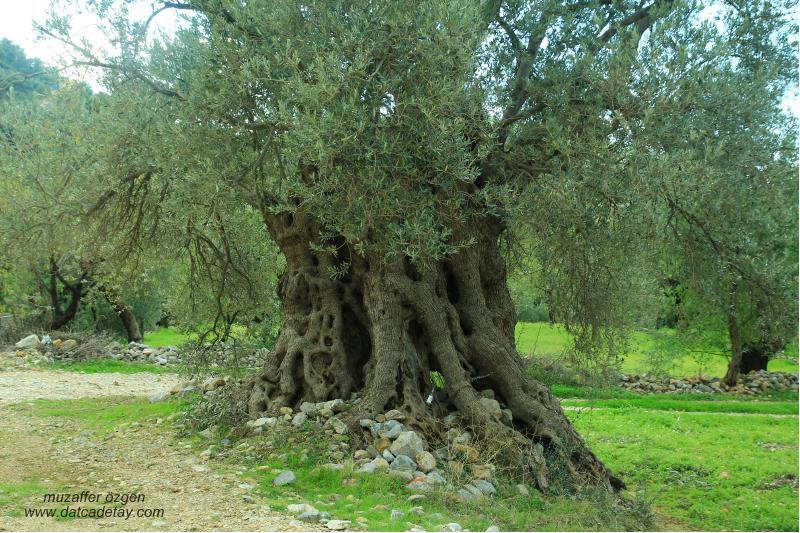 anıt ağaç zeytin