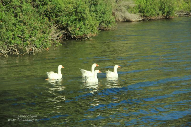 balıkaşıran'da kazlar