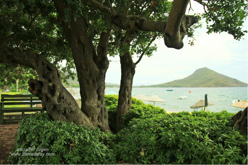 aktur harup ağacı