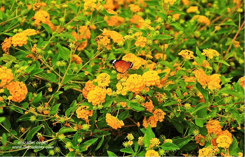sonbahar kelebekleri