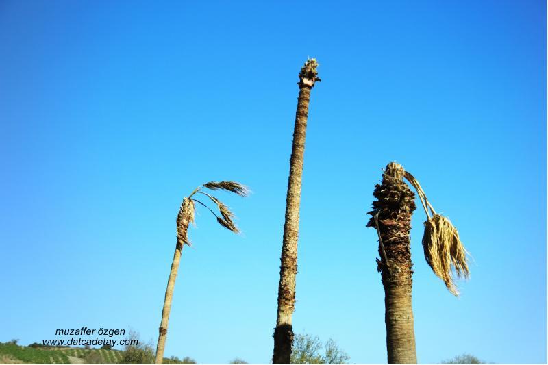 kırmızı palmiye böceği zararları