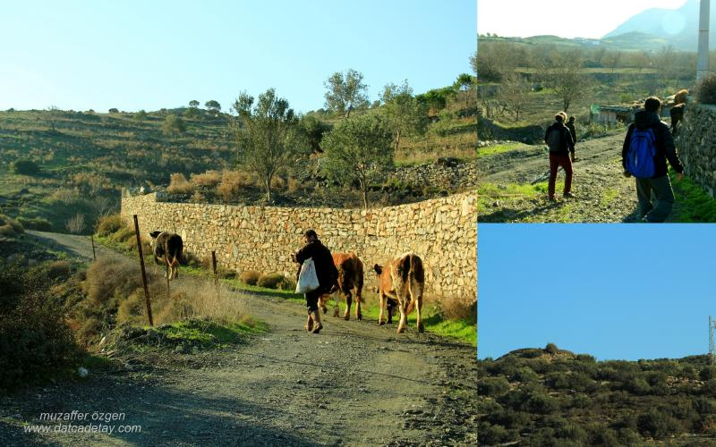 yazıköy sığır çobanı