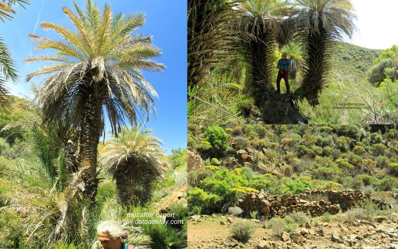 datça hurması ağaçları