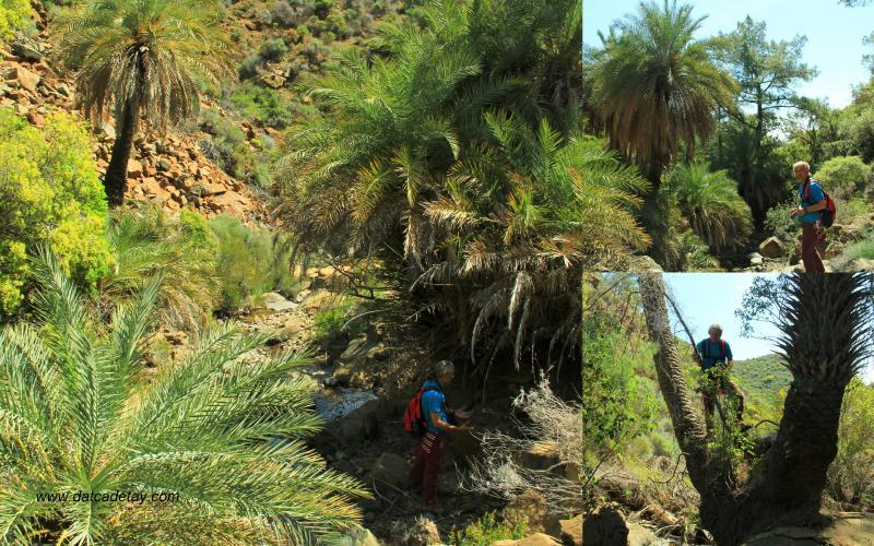 datça palmiyeleri