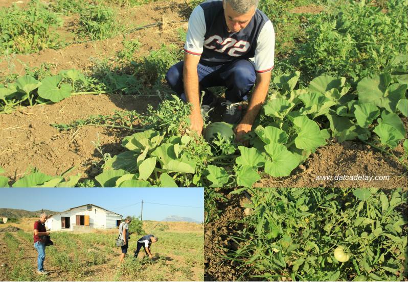 datça yerel tohum hasat zamanı