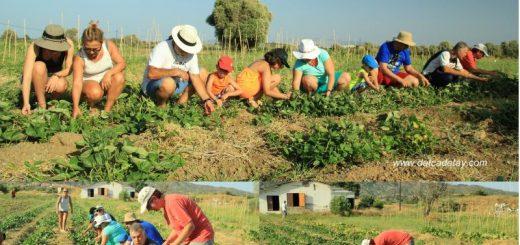 yerel tohum hasat zamanı