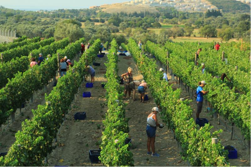 wineyard bağları