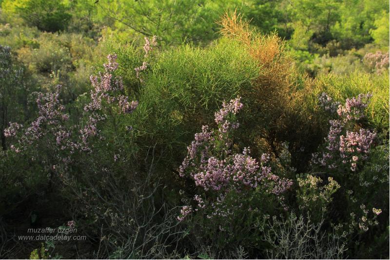 piren çiçeği