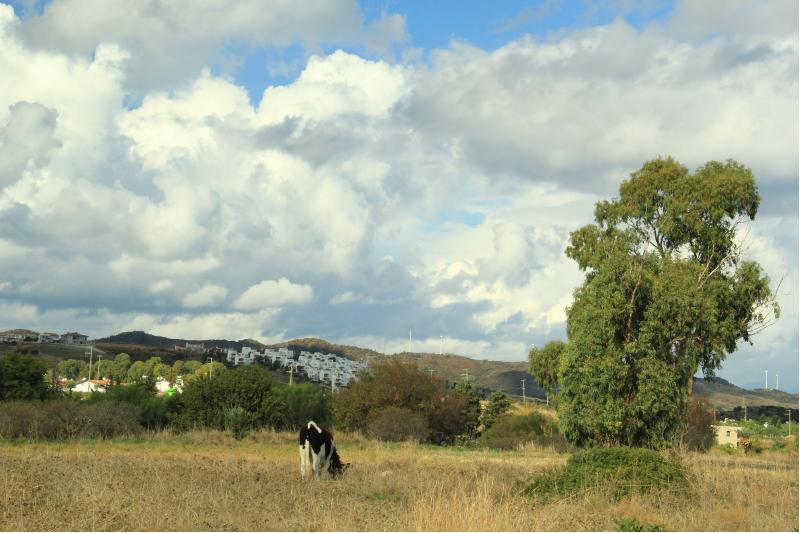 datça otlayan inek