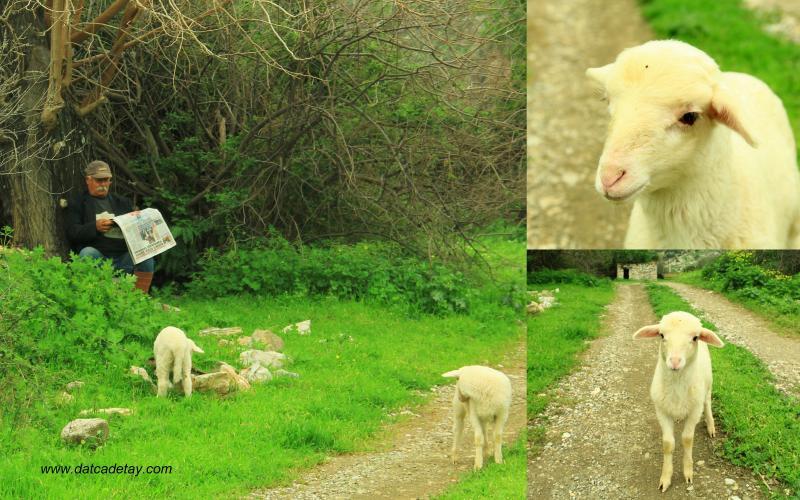kargı koyunlar
