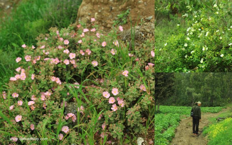 pamuklan çiçekleri