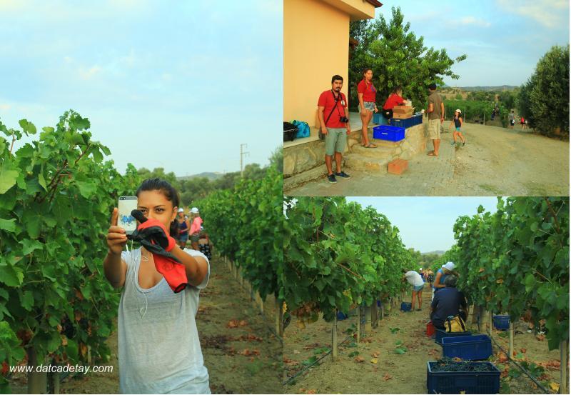 vineyard etkinliği
